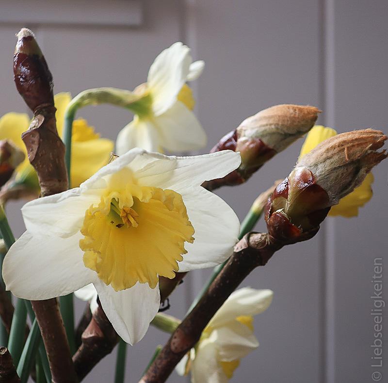 Rosskastanie im Aufbruch und Narzissenblüte - Frühling