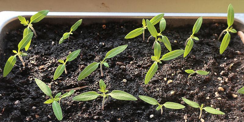 junge Tomatenpflanzen