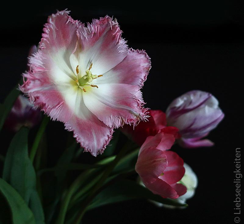 Tulpenblüte mit ausgefranstem Rand- rosa weiße Fransen Tulpe - ausgefranste Tulpe