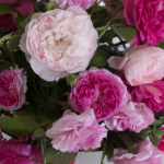 Historische Rosen - Duftrosen - Rosenblüten