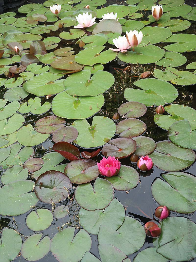 Seerosen in unserem Teich