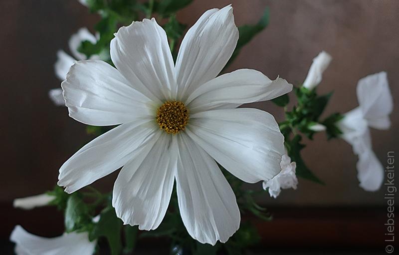 Blüte einer weißen Cosmea - Schmuckkörbchen