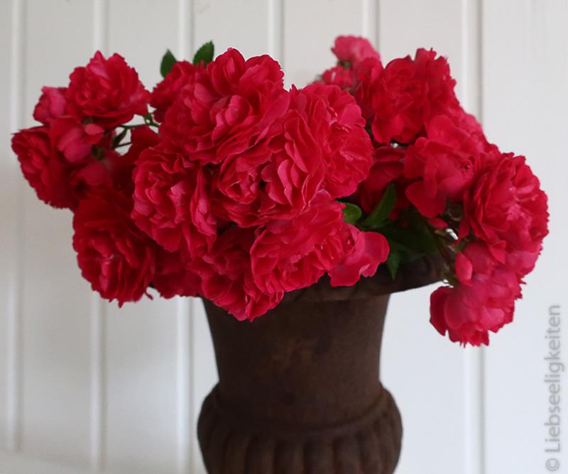 Blüten der Kletterrose super excelsa