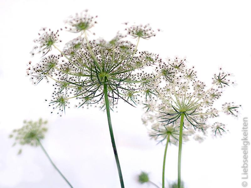 Blüten der Wilden Möhre