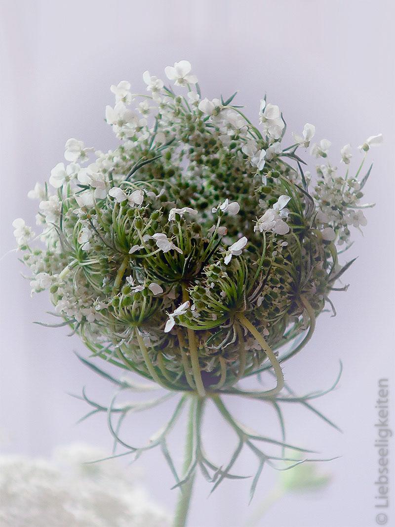 Wilde Möhre - Geschlossene Blüte
