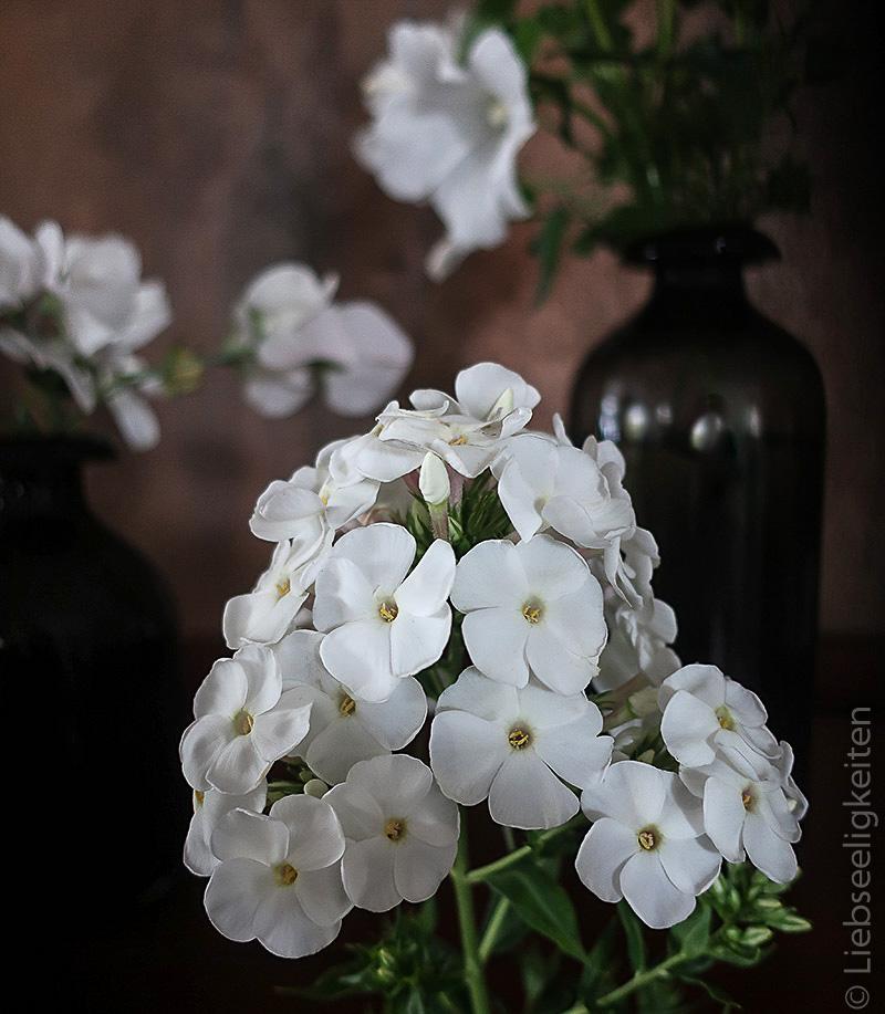 weiße Phlox - weiße Blüte der Flammenblume
