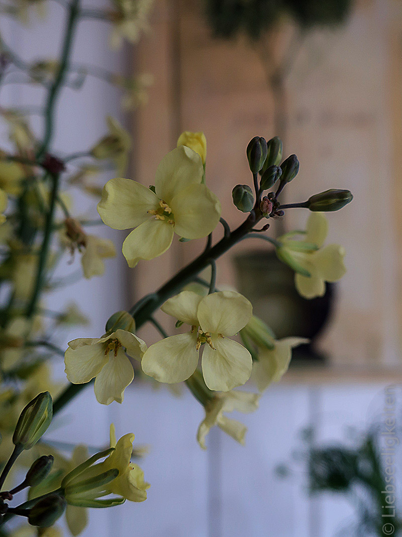 Brokkoliblüte