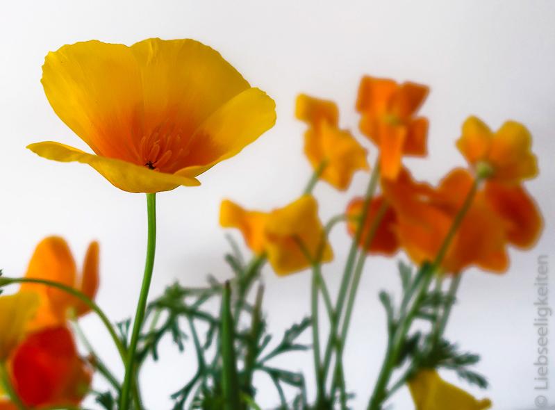 Blüten des Goldmohns - Kalifornischer Mohn