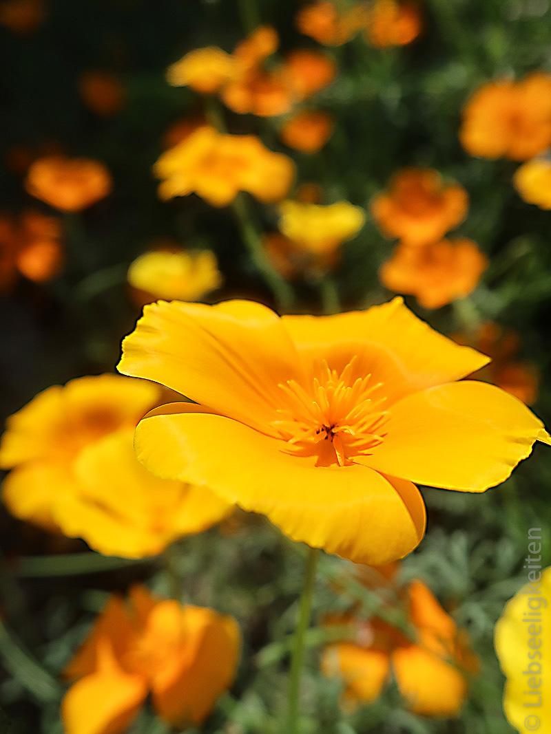 Mohnblumen - Kalifornischer Mohn