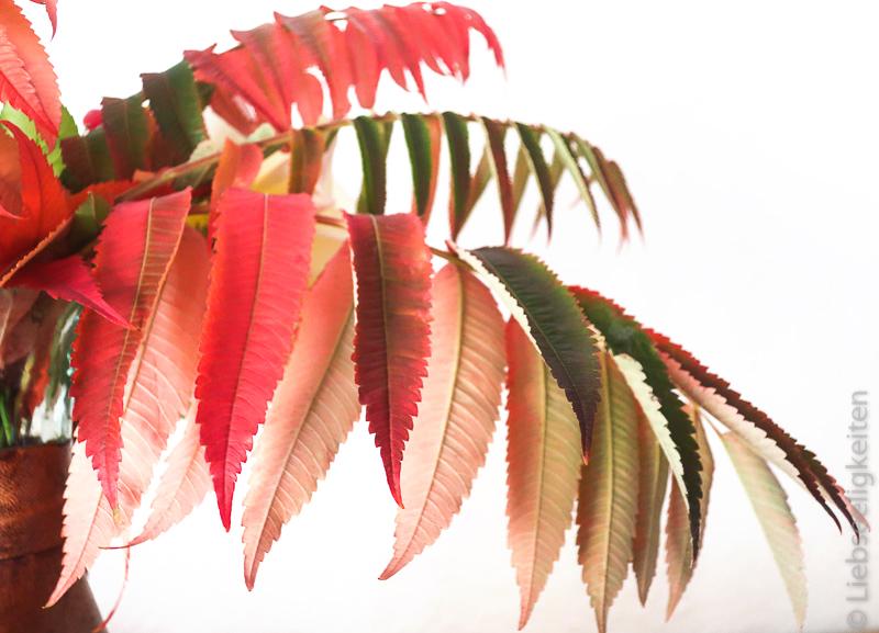 Blätter des Essigbaums im Herbst - Herbstblätter