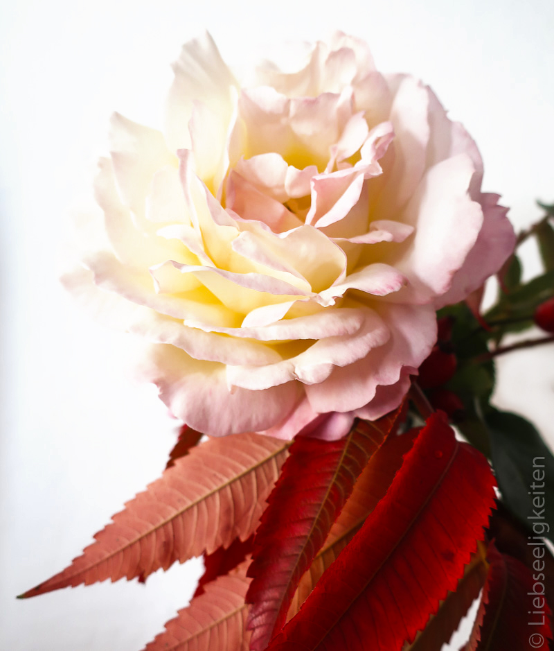 Blüte der Rose Gloria Dei