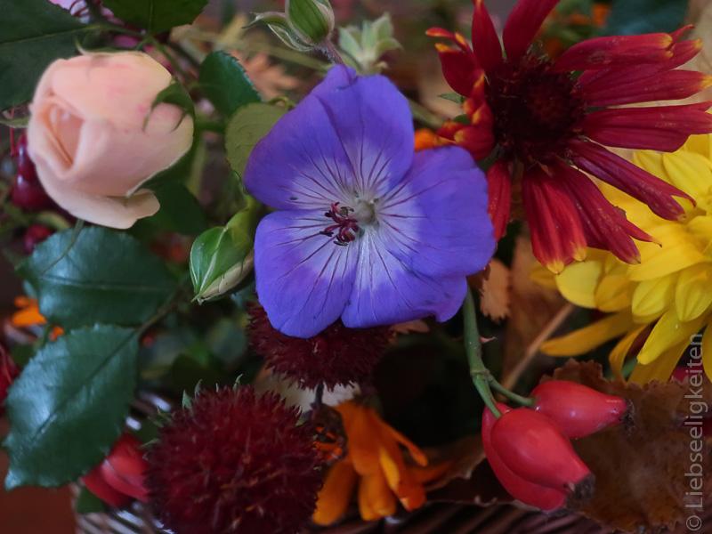 Geranium Rozanne - Herbstblumen