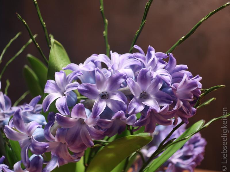 Hyazinthe - blauviolette Hyazinthenblüte