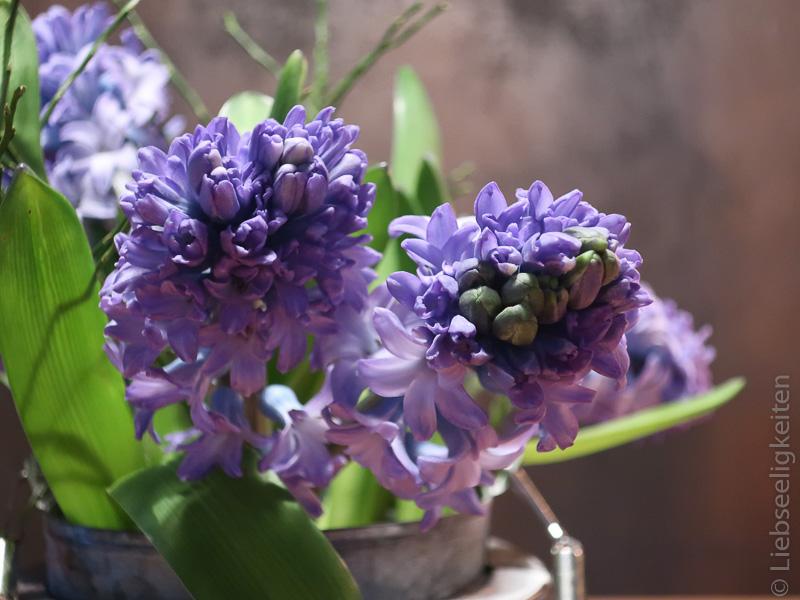 Hyazinthenblüten - blaue Hyazinthen