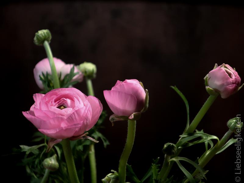 Blüten der Ranunkeln - rosa ranunkelblüten - ranunkeln