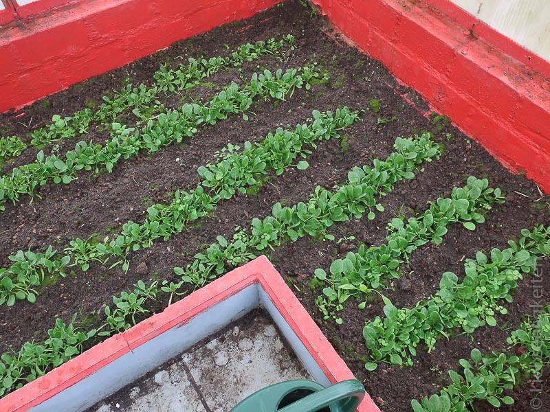 Spinat - unsere erste Ernte