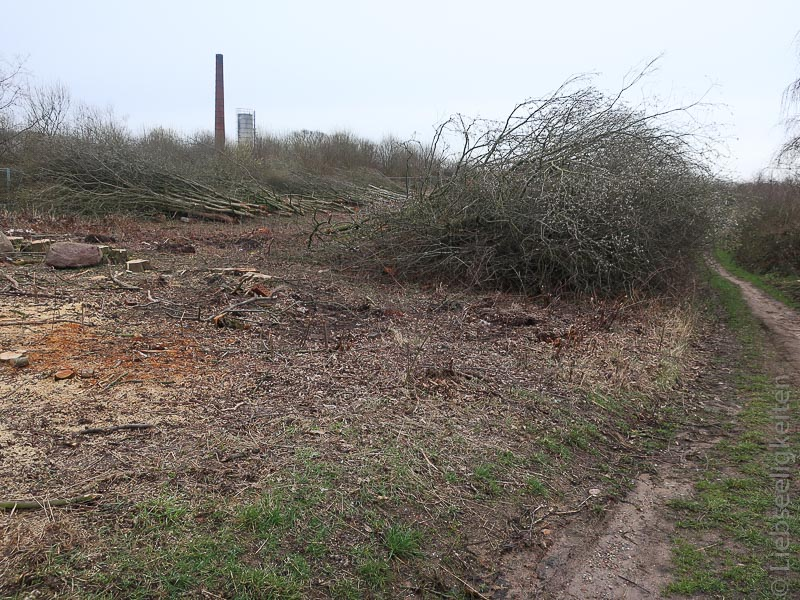 abgeholzte salweide -Weidenkätzchen