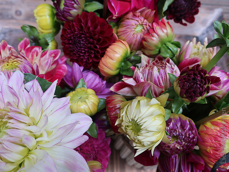 Blumen - Dahlien -5