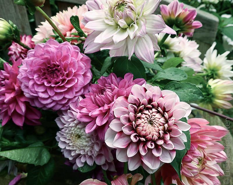 Dahlien-Blumenstrauß-Dahlienblüten