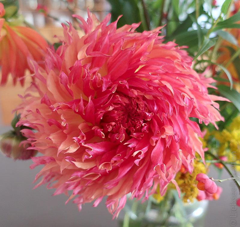 Afrikanische Dahlie - Dahlienblüte
