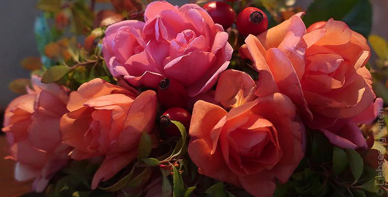 rosenblüten - orange rosen und beeren