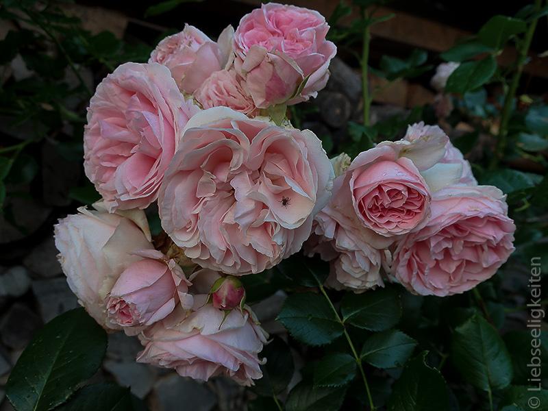 Blüten der Kletterrose Giardine
